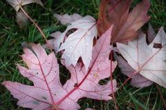 Hojas de otoño en la hierba Fotografía de archivo