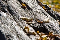Hojas de otoño en la roca chispeante del granito Imagenes de archivo