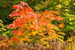 Hojas de otoño en los árboles Fotos de archivo