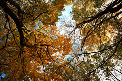 Hojas de otoño en los tops de los árboles contra el cielo azul Foto de archivo