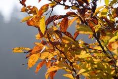 Hojas de otoño en ramificaciones Fotografía de archivo libre de regalías