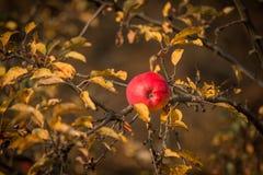Hojas de otoño en un árbol con una manzana Foto de archivo