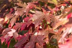 Hojas de otoño en un árbol de arce Imágenes de archivo libres de regalías