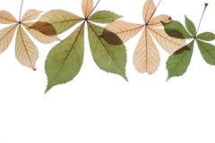 Hojas de otoño en un fondo blanco Imagen de archivo libre de regalías
