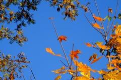 Hojas de otoño en un fondo del cielo azul Imágenes de archivo libres de regalías