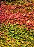 Hojas de otoño en una pared en Toscana fotografía de archivo
