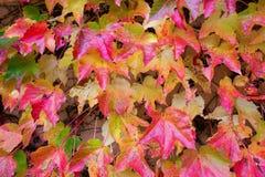 Hojas de otoño en viñedo Imagen de archivo libre de regalías