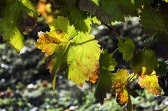 Hojas de otoño en vid Fotos de archivo libres de regalías