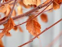 Hojas de otoño escarchadas persistentes Imagenes de archivo