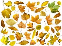 Hojas de otoño fijadas. Blanco aislado Fotos de archivo