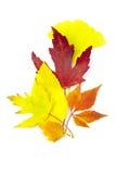 Hojas de otoño hermosas/aisladas en blanco Imagen de archivo libre de regalías
