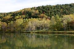 Hojas de otoño hermosas del bosque del abedul blanco de la madrugada en Japón Imagen de archivo libre de regalías