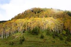 Hojas de otoño hermosas del bosque del abedul blanco de la madrugada en Japón Imagenes de archivo