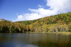 Hojas de otoño hermosas del bosque del abedul blanco de la madrugada en Japón Imagen de archivo