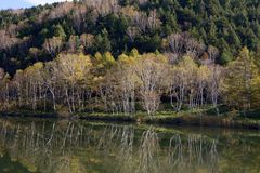 Hojas de otoño hermosas del bosque del abedul blanco de la madrugada en Japón Fotos de archivo libres de regalías