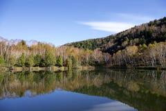 Hojas de otoño hermosas del bosque del abedul blanco de la madrugada en Japón Imágenes de archivo libres de regalías