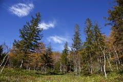 Hojas de otoño hermosas del bosque del abedul blanco de la madrugada en Japón Foto de archivo