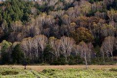 Hojas de otoño hermosas del bosque del abedul blanco de la madrugada en Japón Fotografía de archivo libre de regalías