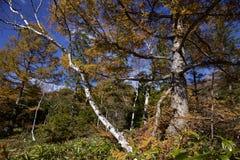 Hojas de otoño hermosas del bosque del abedul blanco de la madrugada en Japón Fotografía de archivo