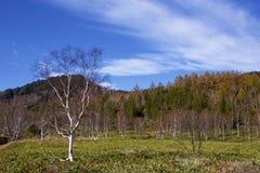 Hojas de otoño hermosas del bosque del abedul blanco de la madrugada en Japón Fotos de archivo