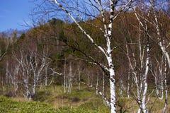 Hojas de otoño hermosas del bosque del abedul blanco de la madrugada en Japón Foto de archivo libre de regalías