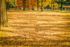 Hojas de otoño hermosas de Japón en Meiji Jingu Gaien Park de Tokio foto de archivo