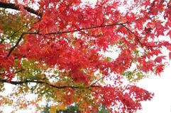 Hojas de otoño japonesas Japón fotos de archivo