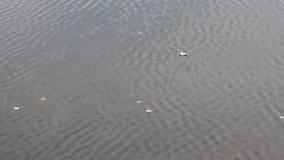 Hojas de otoño de los árboles que flotan en la superficie del agua del río almacen de metraje de vídeo