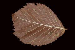Hojas de otoño marrones caidas en un fondo negro Imagen de archivo