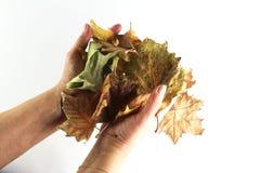 Hojas de otoño mi mano Imagen de archivo