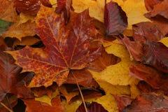 Hojas de otoño mojadas Imagen de archivo libre de regalías