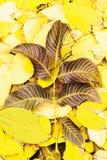Hojas de otoño nuez, marrón y amarillo Imagen de archivo libre de regalías