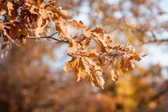 Hojas de otoño que caen abajo Foto del primer con el foco en la hoja Fotos de archivo