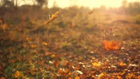 Hojas de otoño que caen en la cámara lenta y sol que brilla a través de las hojas de la caída Fondo hermoso del paisaje metrajes