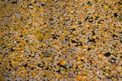 Hojas de otoño que flotan en una charca Foto de archivo