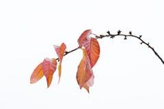 Hojas de otoño que permanecen en el brunch 2 de la cereza Fotos de archivo libres de regalías