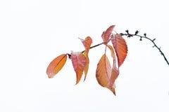 Hojas de otoño que permanecen en el brunch 3 de la cereza Fotos de archivo libres de regalías