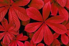 Hojas de otoño rojas Imagenes de archivo