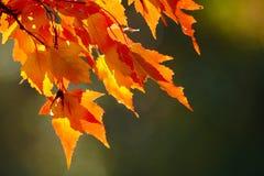 Hojas de otoño rojas Foto de archivo libre de regalías
