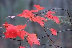 Hojas de otoño rojas Fotos de archivo