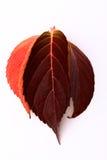 Hojas de otoño rojas Imagen de archivo libre de regalías