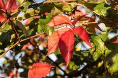 Hojas de otoño rojas 2 Fotos de archivo libres de regalías