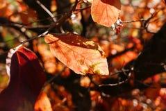 Hojas de otoño rojas en el sol de la mañana Fotografía de archivo