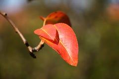 Hojas de otoño rojas en la rama Foto de archivo libre de regalías