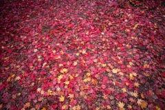 Hojas de otoño rojas en la tierra Fotografía de archivo libre de regalías