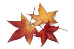 Hojas de otoño rojas de un árbol americano del sweetgum fotografía de archivo libre de regalías