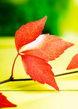 Hojas de otoño rojas vivas Foto de archivo