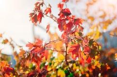 Hojas de otoño rojas y amarillas foto de archivo libre de regalías