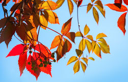 Hojas de otoño rojas y amarillas coloridas Foto de archivo libre de regalías