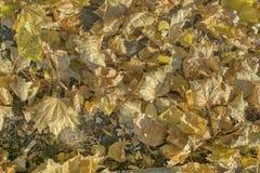 Hojas de otoño secadas y encendidas, colores del otoño foto de archivo libre de regalías